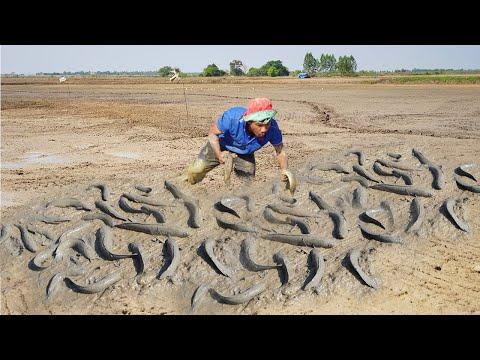 Dry Catching Many Catfish U0026 Copper Snakehead Fish Under Muddy Soil - Dry Season Fishing 2021