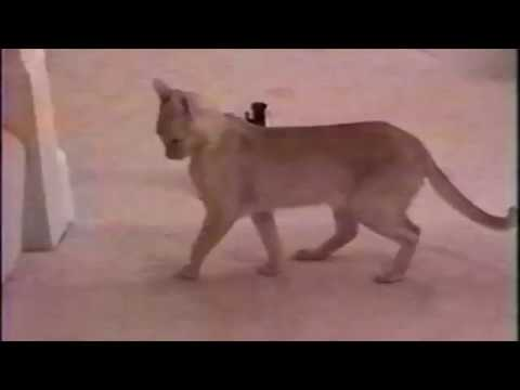 Symptoms of Burmese Feline Potassium Deficiency