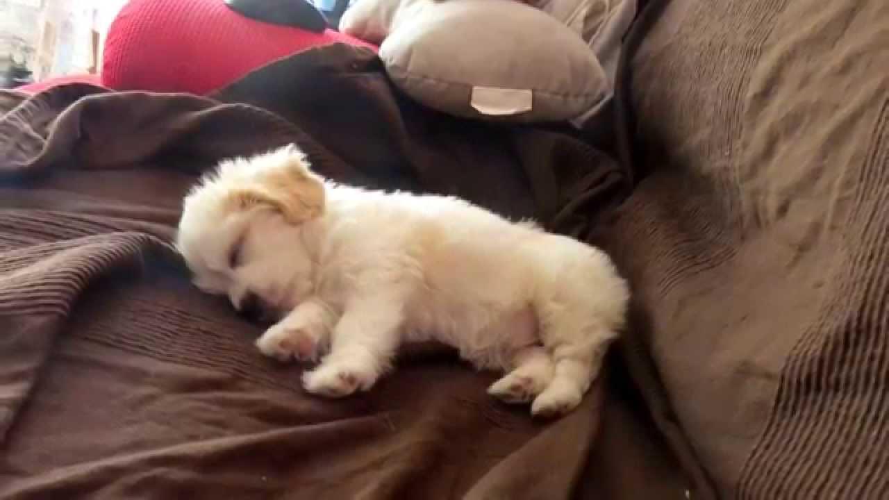 Krembo The Cutest Maltese Terrier Puppy