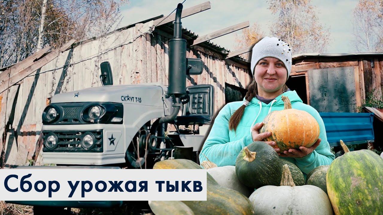 Трактор СКАУТ с прицепом 1ПТС - 1,5Т. Сбор урожая тыкв