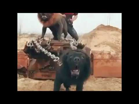 Repeat Dog fight in Punjab by Pittbull he bitbull fighter