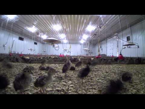 MacFarlane Pheasant Farm Videos