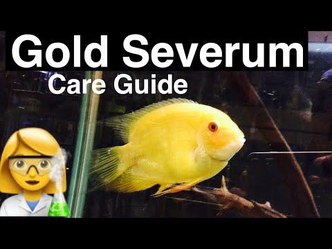 Gold Severum Cichlid Care - Tank Mates