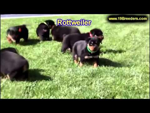 Rottwieler, Puppies, For, Sale, In, Little Rock, Arkansas, AR, Russellville, Jacksonville, Sherwood,