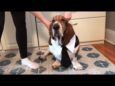 basset getting ready for work!