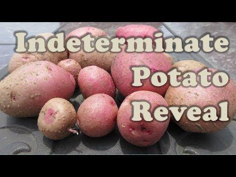 Indeterminate Potato Reveal