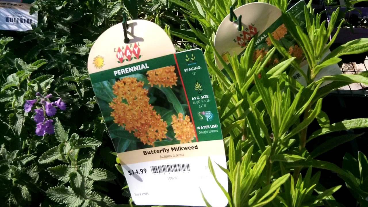 Earl May Garden Center Ames Ia Native Milkweed 4 Sale Youtube