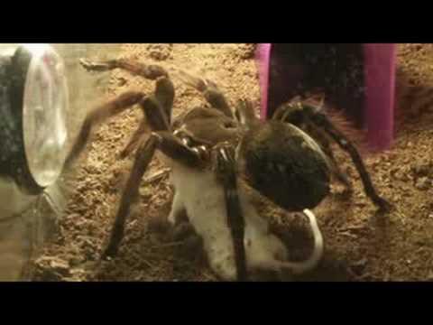 Tarantula (Theraphosa blondi) eating mouse