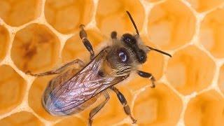 Как клещ Варроа мигрирует с растений на пчел & Заражение пчел варроатозом