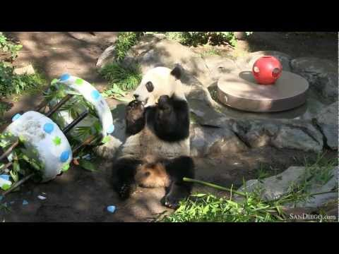 Panda At San Go Zoo Cele Tes Birthday By Ing Cake