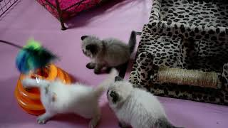 Periwinkle's Dazzling 7 Week Old Himalayan Kittens Playing
