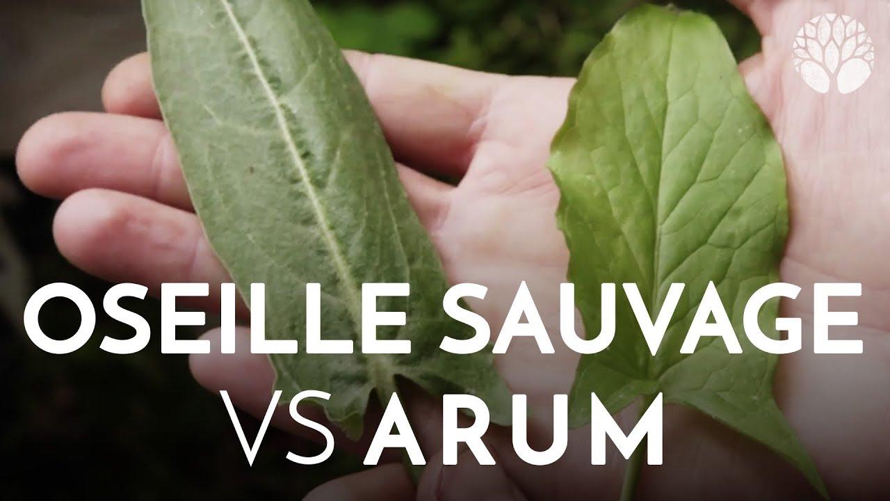 Oseille sauvage VS Arum