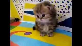 Самые милые персидские котята