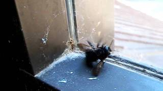 a large black bee at the ahwahnee hotel