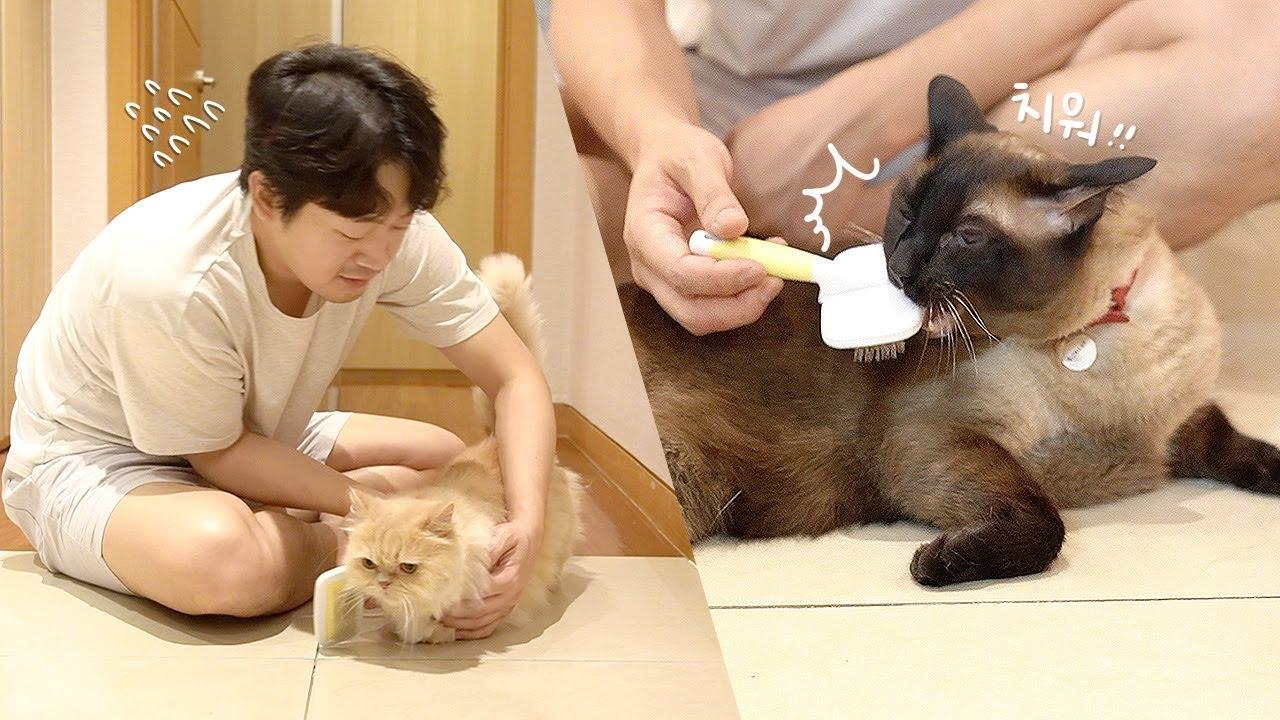 [쁘지가 만든 영상] 빗질 잘 못 하는 남집사 vs 빗질 싫어하는 고양이들