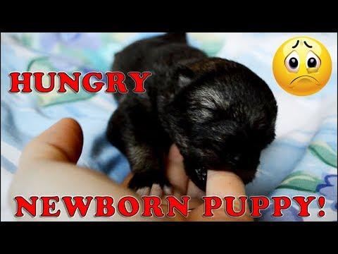 Hungry Tamaskan Puppy!