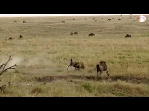 [HD] Linh Dương (đầu bò) Mẹ húc tung Báo Hoa Mai cứu con