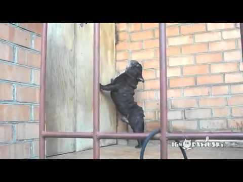 Funny Dog Barking | Funny Dog Barking Pug