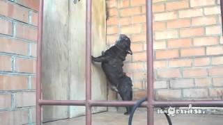 Funny Dog Barking   Funny Dog Barking Pug