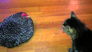 The Chicken & Cat Talk to Each Other