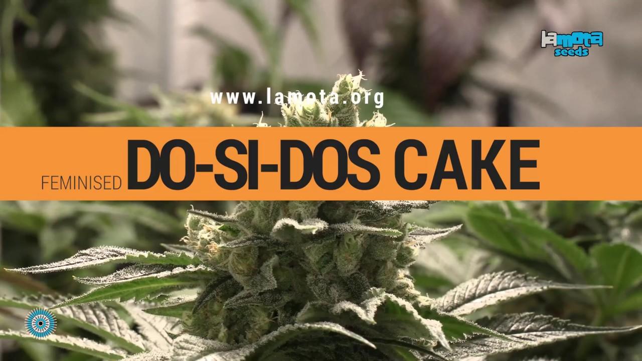 Variété de cannabis Do-Si-Dos Cake