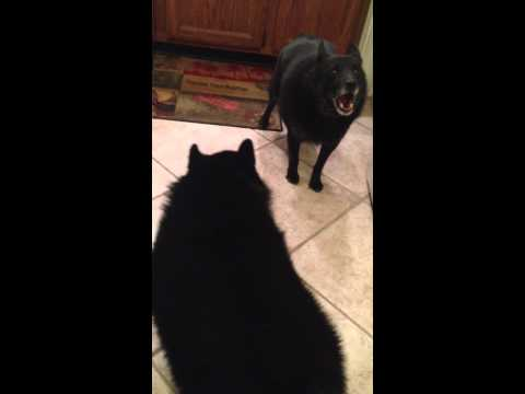 Fun loving Schipperke dogs morning playtime