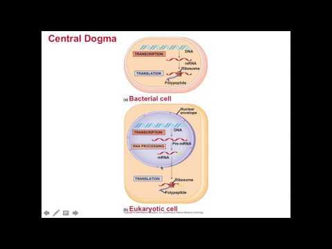 Ch  17 From Genes to Proteins Lecture
