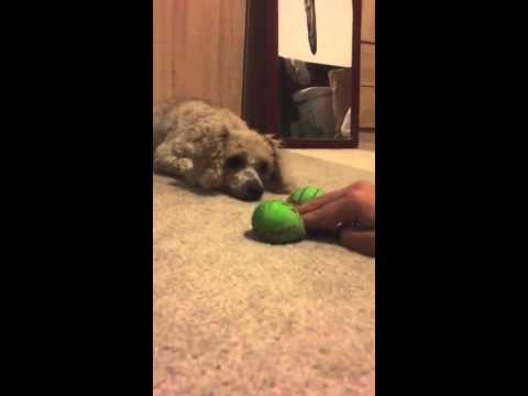 Poodle crying for toy