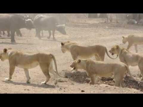 Búfalos resistieron el ataque de una manada de leonas