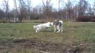 Маламут и БШО(Это видео загружено с телефона Android., 2011-01-17T07:47:54.000Z)