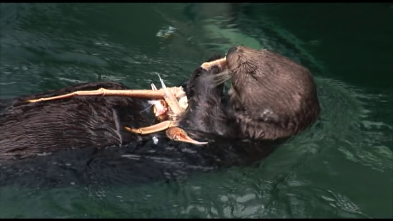 Sea Otters eating King Crab - YouTube