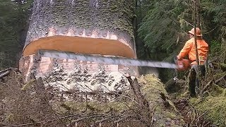Amazing Dangerous Skills Fastest Tree Felling,Extreme Cutting Down Tree Strongest Chainsaw Crazy