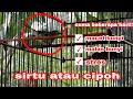 Tips Mengatasi Burung Sirtu Atau Cipoh Macet Bunyi Malas Bunyi Ini Triknya  Mp3 - Mp4 Download