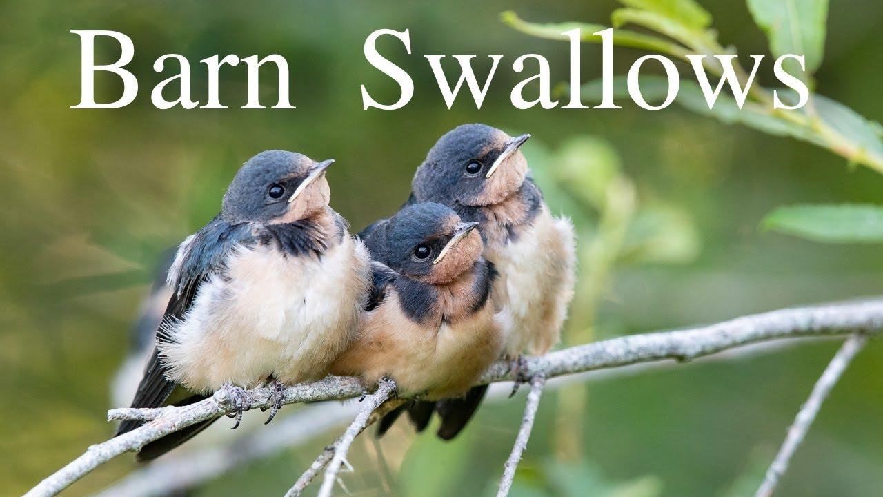 Fledgling Barn Swallows - YouTube