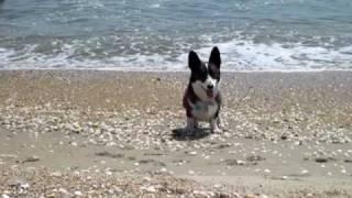 コーギー・カーディガンの官助です! この春、海に行きました。 「おい...