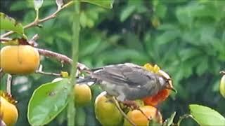雨の中柿を食べるヒヨドリ。 SX710HSで撮影。 Weather report video in ...
