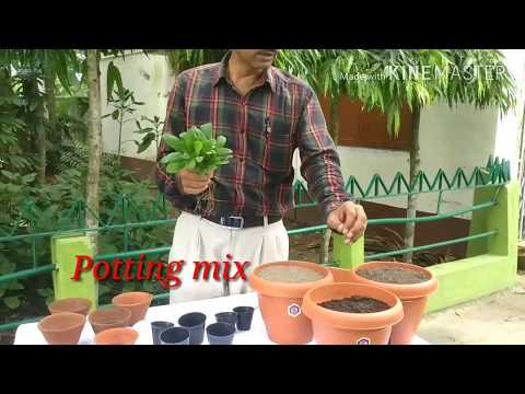 How to grow and care Bryophyllum /Pattharchatta the miracle plant