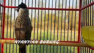 Download lagu Pancingan untuk TRUCUK dan KUTILANG dengan suara Kutilang isian Trucuk MP3