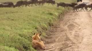 Lion Surprises Wildebeest In Dramatic Takedown