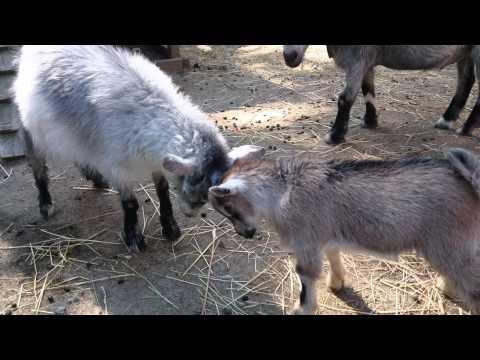 Goat play