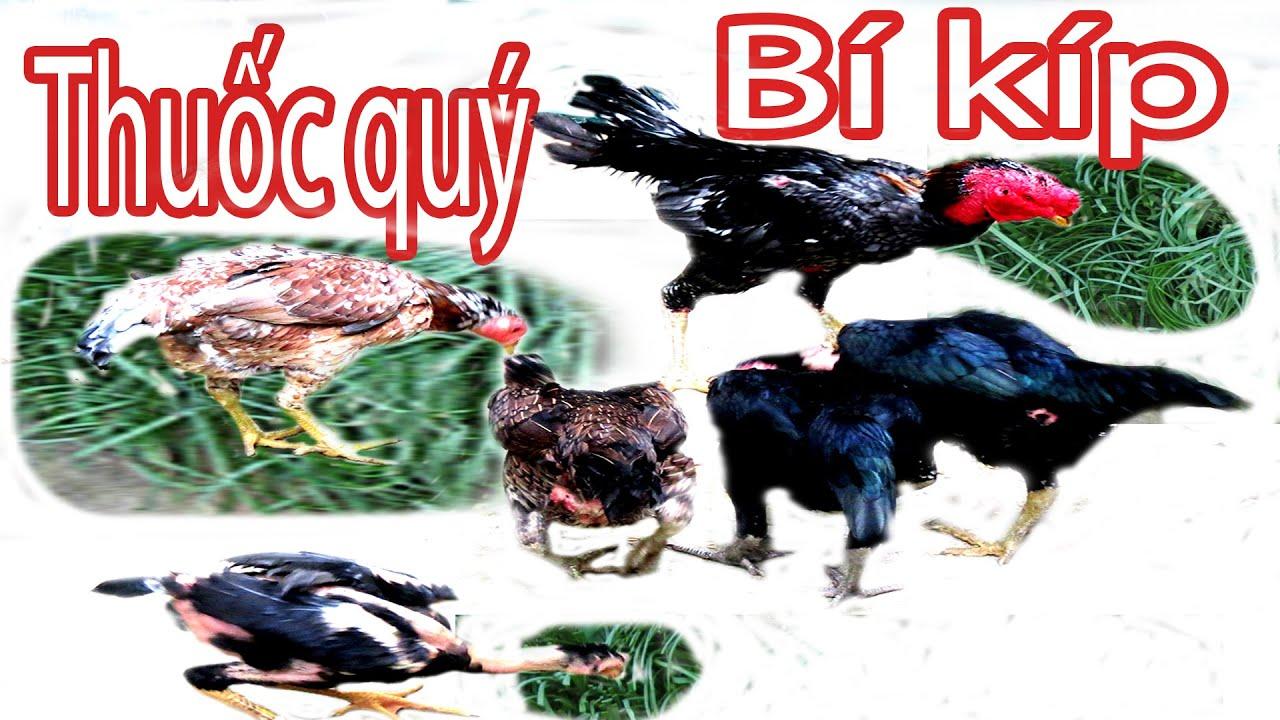 Cho gà ăn cây này khỏe như Trâu, ít bệnh tật | Lá Lằng - Sâm Nam | Nguyễn Viết Hòa