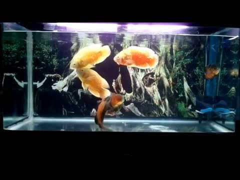 Cá Tai Tượng  Châu Phi - oscar fish