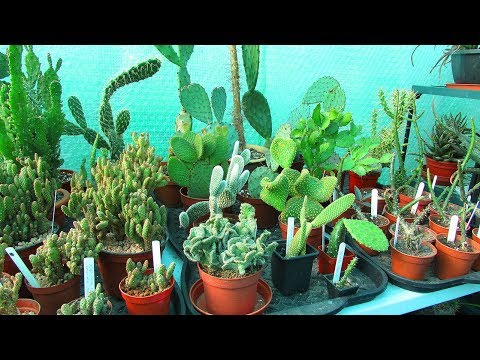 Re arranging Opuntia Cactus Plants - The Prickly Pear Cacti in the Polytunnel