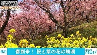 春一番が吹いた後は…桜と菜の花の便り 神奈川(18/03/02)