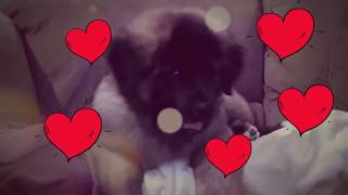 Leonberger Antics  episode 128