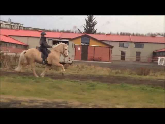 The 5 gaits of the icelandic horse