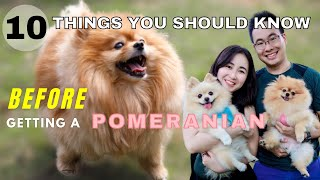 10 Things You Should Know Before Getting a Pomeranian   New Puppy Tips