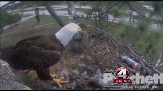 Baby eagle dies
