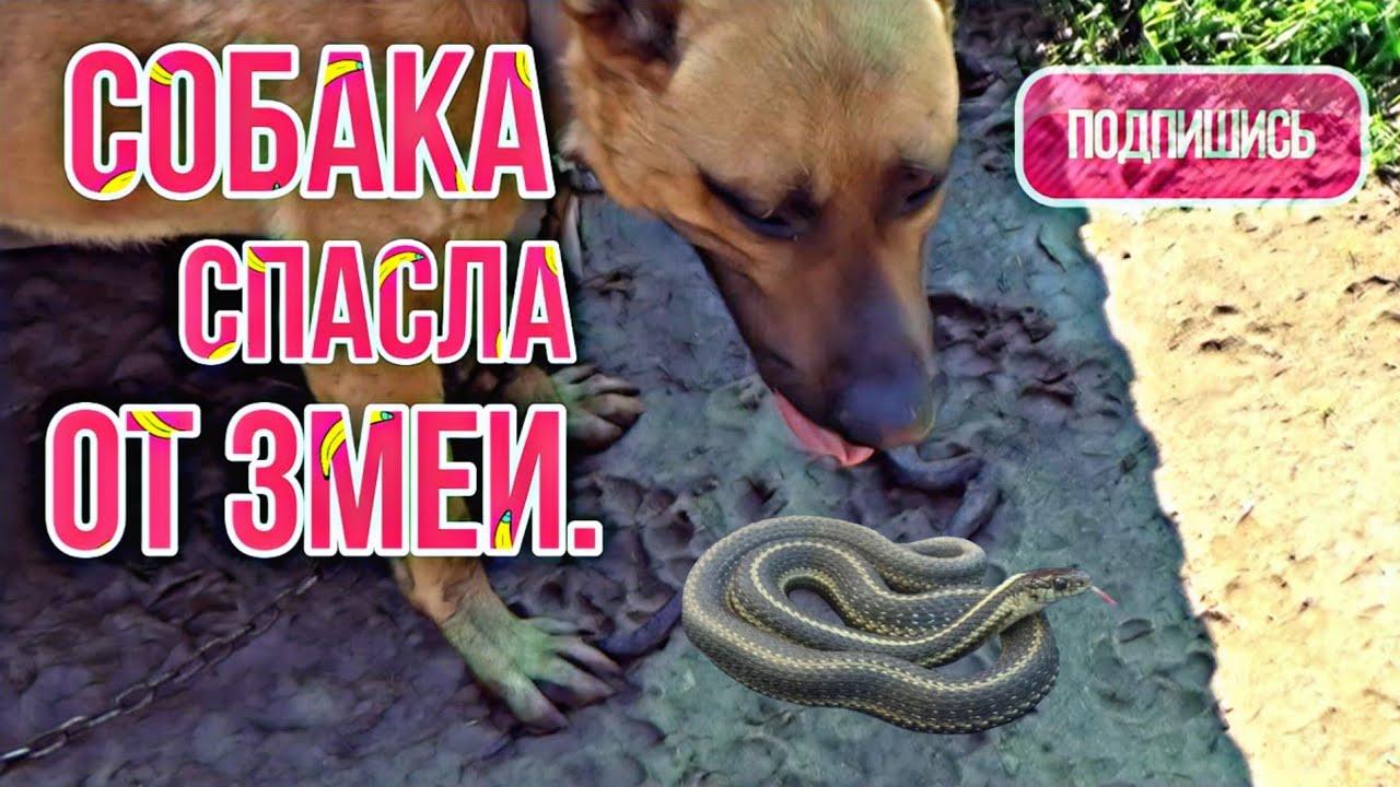 Собака спасла от змеи. Маленький гений футбола. Наши помощники.