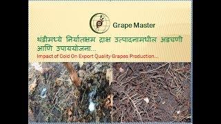 Grape Master - थंडी मध्ये निर्यातक्षम द्राक्ष उत्पादनामधील अडचणी आणि उपयोजना